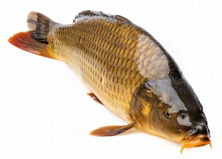 top 8 bai van mau ta con ca hay nhat 1 - Top 8 bài văn mẫu tả con cá hay nhất