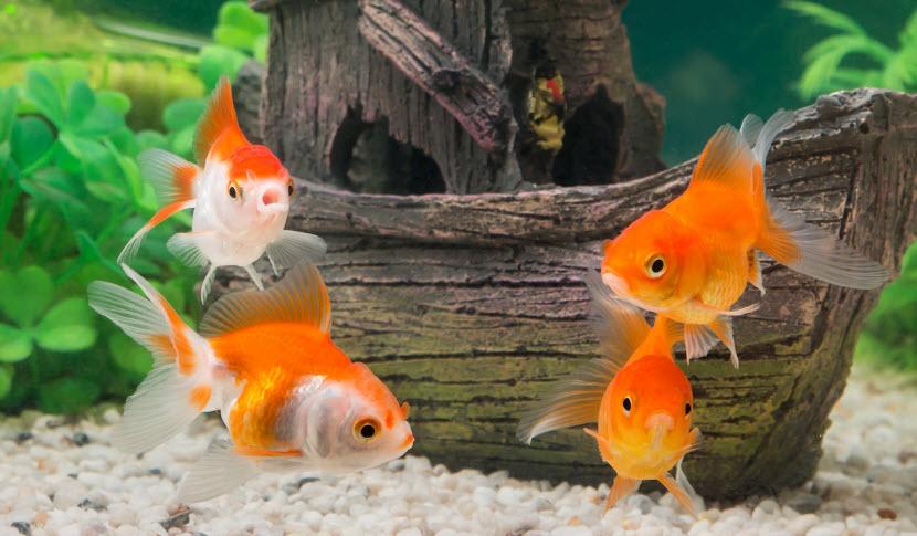 top 8 bai van mau ta con ca hay nhat 2 - Top 8 bài văn mẫu tả con cá hay nhất