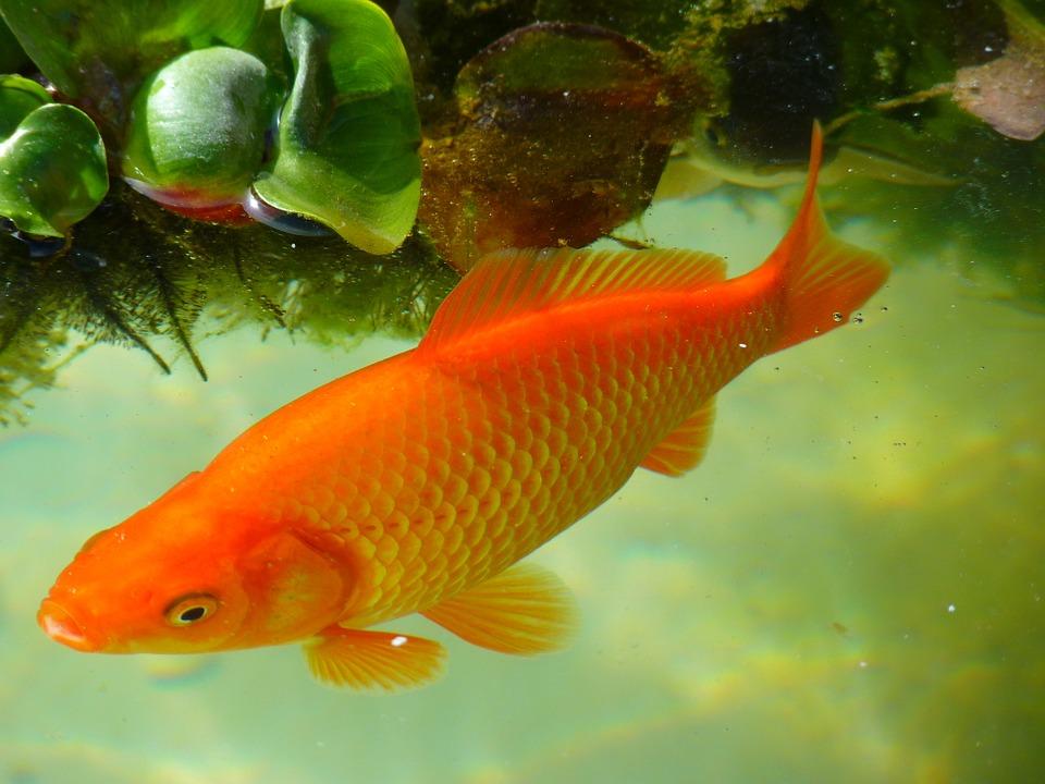 top 8 bai van mau ta con ca hay nhat 4 - Top 8 bài văn mẫu tả con cá hay nhất