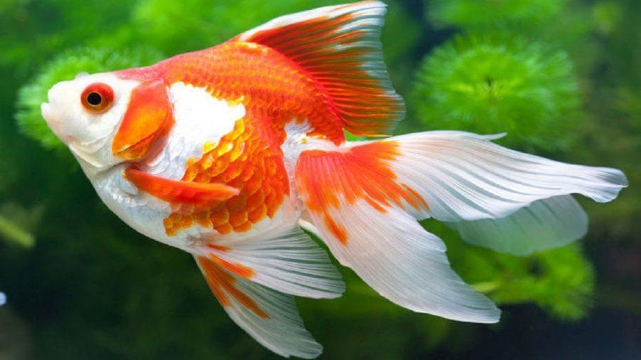 Top 8 bài văn mẫu tả con cá hay nhất