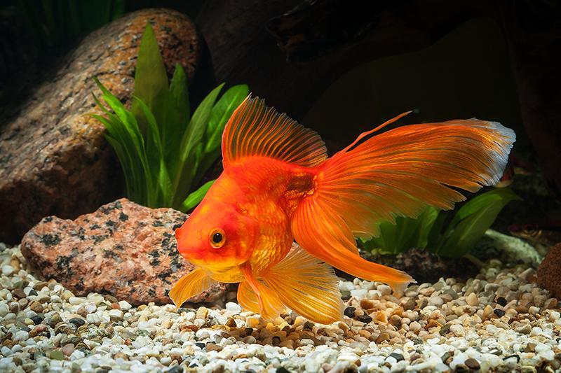 top 8 bai van mau ta con ca hay nhat - Top 8 bài văn mẫu tả con cá hay nhất